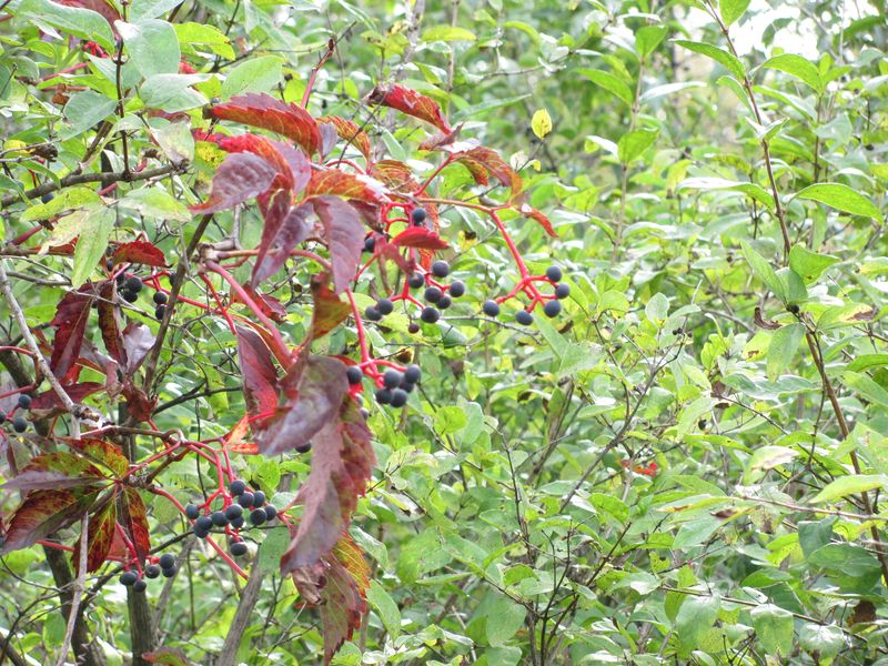 Vines and berries